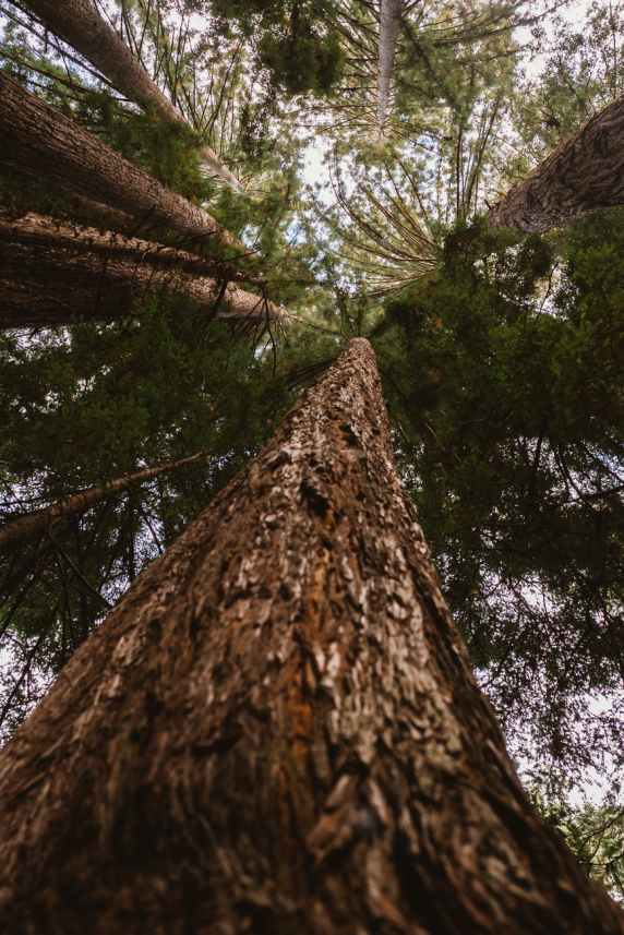 low angle photography of conifer trees